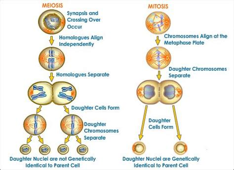Cell Biology Meiosis and Mitosis Free Essays - phdessaycom